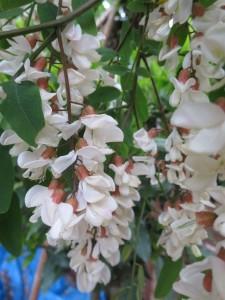 Tempura de fleur d'acacia chef à domicile Beaune